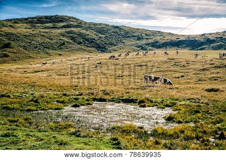 Simmental Cows Grazing In The Alps