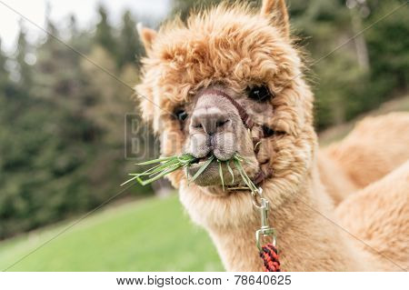Funny Alpaca With Mouth Full Of Grass