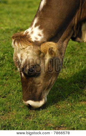 grazing hornless cow