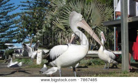 Pelicans Waiting for Fish Scraps.