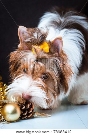 Biewer Yorkshire Terrier And Christmas Decorations