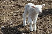 Sweet little baby Lamb in spring in newfoundland poster