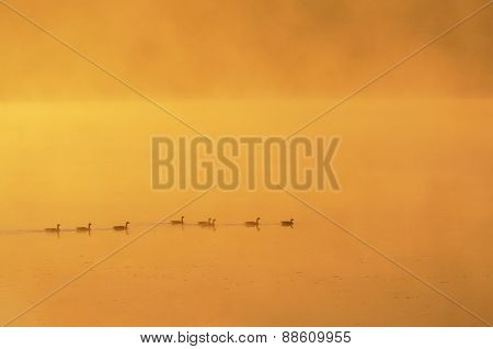 Geese Swimming at Sunrise on Foggy Morning
