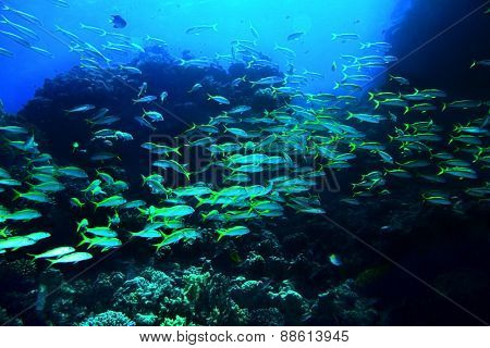 Group of coral fish  blue water. Moving rif fish.