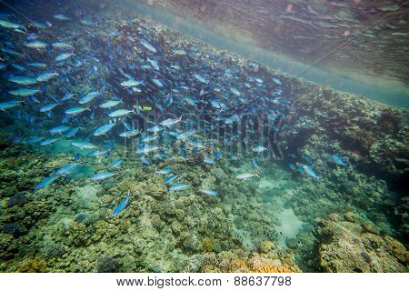Shoal of blue fishes