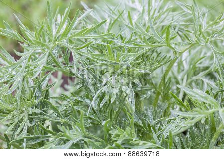 Silver Sagebrush Leaves With Water Drops
