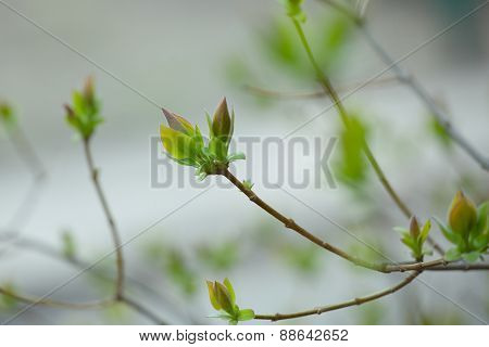 The First Spring Gentle Leaves, Buds And Branches Macro Background
