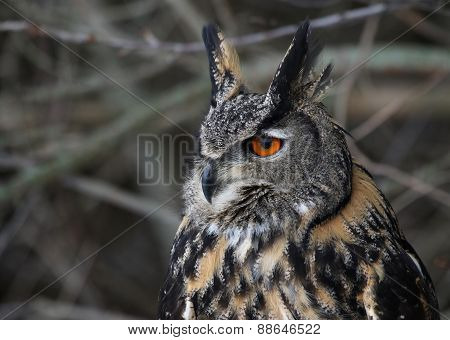 Eurasian Eagle Owl Sideview