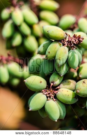 Broadleaf Mahonia fruit