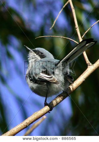 Masked Gnatcatcher