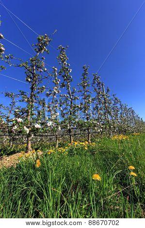 apple field flowers