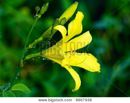 image of yellow lilies after the rain poster