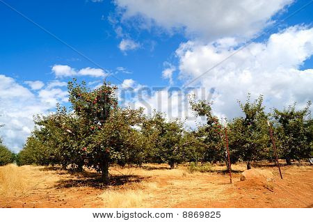 Summer Apples Orchard