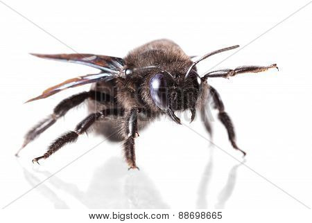 Macro of European carpenter bee (Xylocopa violacea) low point of view isolated on white poster