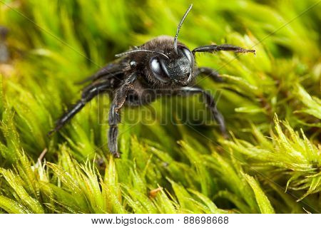 Macro of violet carpenter bee (Xylocopa violacea) in aggressive pose over green moss background poster