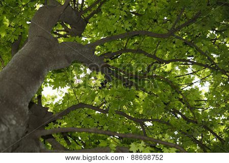 Acer Tree Crown