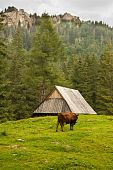 Alpin cow grazing on the meadow with the wooden building on the background poster