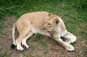 a lioness on the grass looking off to the side poster