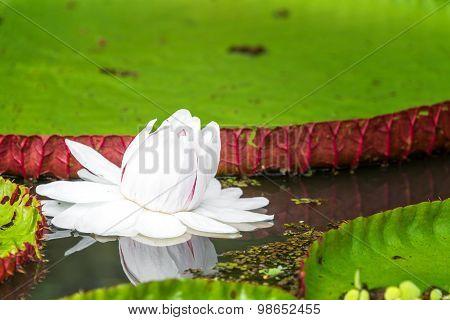 Victoria Amazonica Flower Closeup