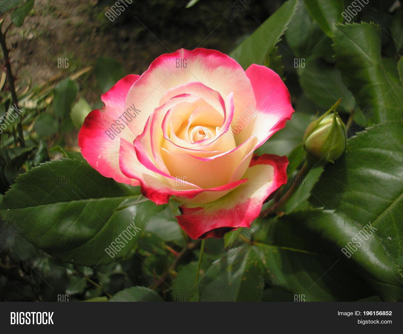 Rose queen flowers image photo free trial bigstock rose is the queen of flowers photo of a beautiful rose in the garden izmirmasajfo