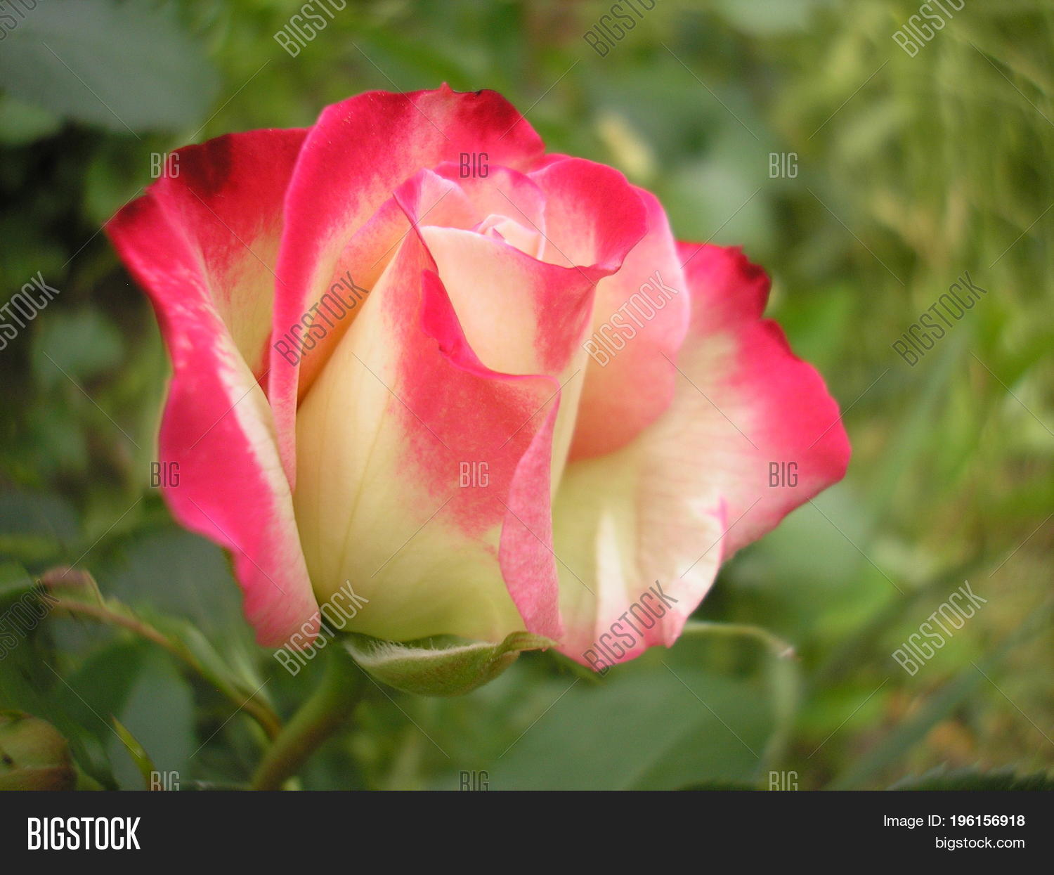 Rose queen flowers image photo free trial bigstock rose is the queen of flowers photo of a beautiful rose in the garden izmirmasajfo