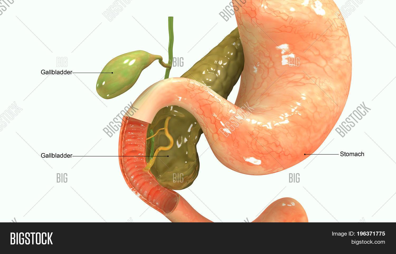 Pancreas Secretes Image Photo Free Trial Bigstock