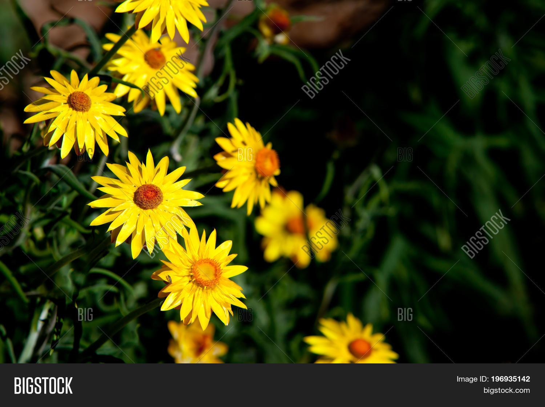 Golden Everlasting Image Photo Free Trial Bigstock