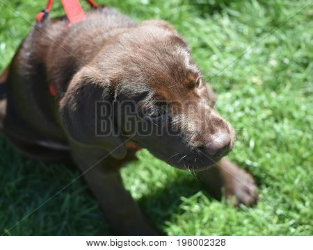 Adorable sweet chocolate lab puppy dog in the summer.