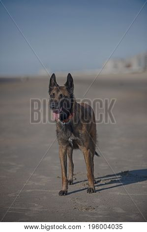Belgian Sheepdog Malinois standing on sand beach on a sunny summer day. He is relaxed but his ears are up listening what is around him. Panting and prepared for guard.