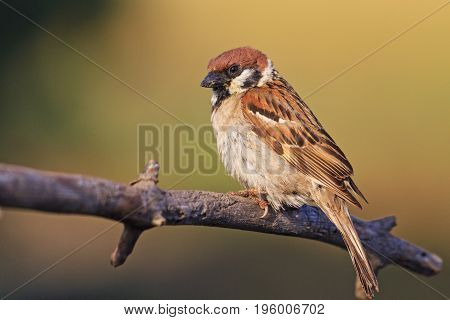 field sparrow sits on the branches in the rays of the sun, Wildlife, animals