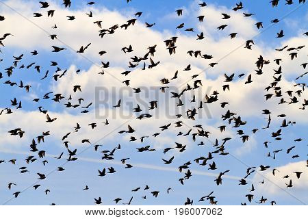 Silhouettes of a flock of birds on a beautiful sky, Wildlife, animals