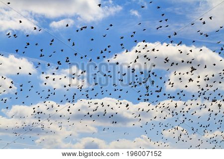 flock of starlings on a blue sky and white clouds, Wildlife, animals