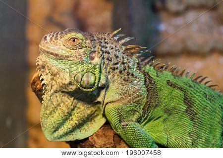 Aggressive green iguana with raised head close-up