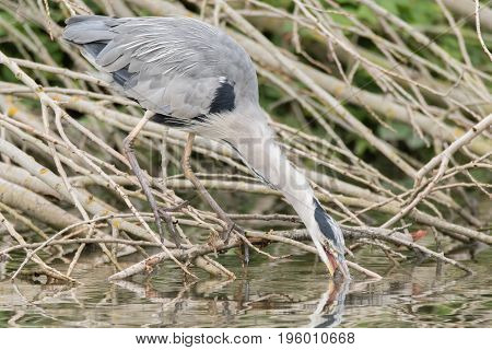 Grey heron (Ardea cinerea) drinking with fish in beak. Large bird in the family Ardeidae with perch (Perca fluviatilis) taking water to help swallow prey