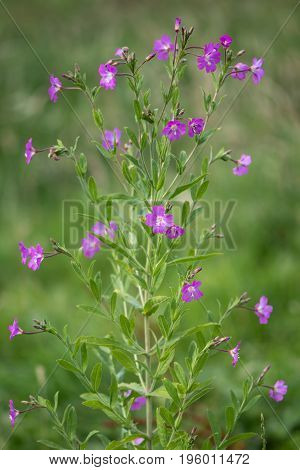 Great willowherb (Epilobium hirsutum) plant in flower. Pink flowers on plant in the family Onagraceae aka great hairy willowherb