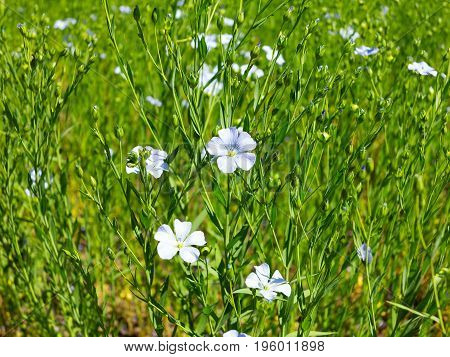 Flax Blooms. Green Flax Field In Summer Sunny Day. Agriculture, The Cultivation Of Flax.