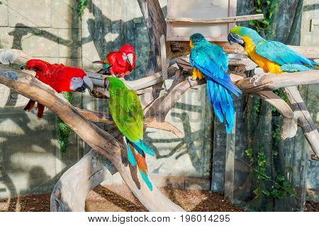 Colorful flock of macaw sid on a branch.