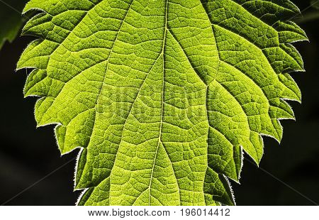 a backlighted green leaf shows its structure