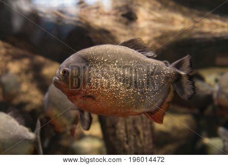 Piranha Serrasalmus bat Natterer fish-eating meat in the aquarium