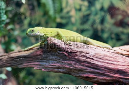 Green lizard iguana on a tree in a forest close-up.