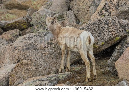 a rocky mountain bighorn sheep ewe in the Colorado high country