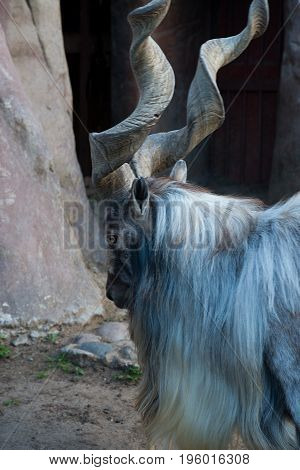 Bukharan marchor mountain also known as Turkemen Markhor.