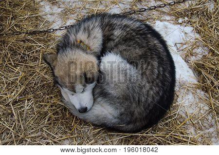 Alaskan malamute dog sleeping outdoor on straw bedding