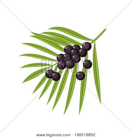 Acai berries and branch with leaves. Vector flat icon illustration isolated on white.