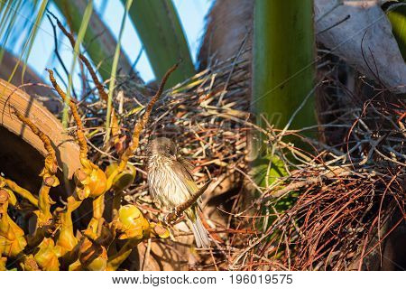 Palmchat (Dulus dominicus) bird sits on a palm tree in Bayahibe La Altagracia Dominican Republic.