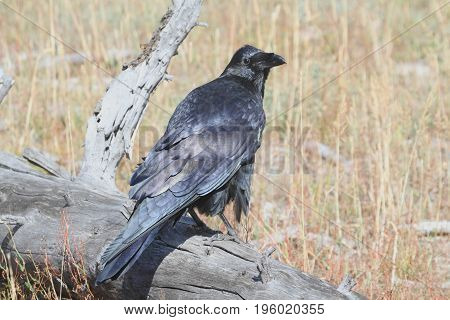 Common Raven (Corvus corax) in Yellowstone National Park