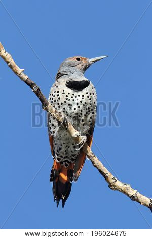 Northern Flicker (Colaptes auratus) Red-shafted on a branch with a blue background