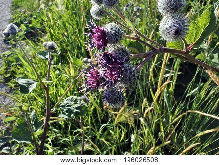 beautiful violet flowered agrimony macro against evening sunny light