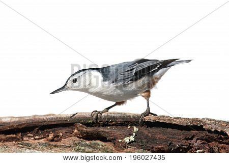 White-breasted Nuthatch (sitta carolinensis) on a tree branch isolated on a white background