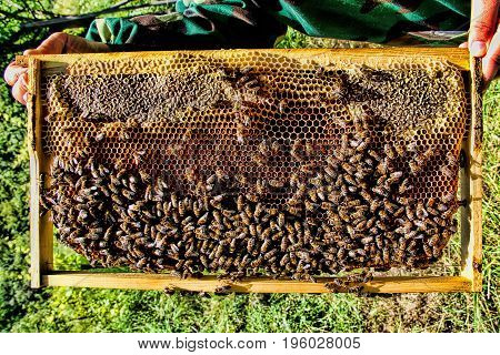 Honey bees rejoice on honeycombs ... the frame is full of nectar ... the beekeeper's hands are visible
